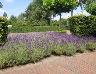 Tuinonderhoud lavendel